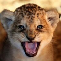 Bild von Old Lion